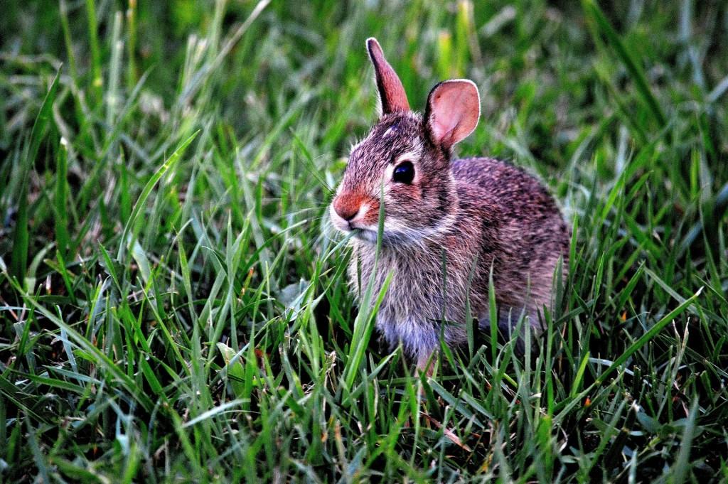 bunny-183301_1920
